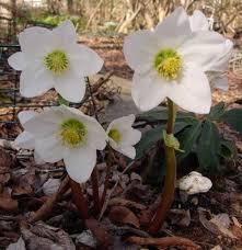 helleborus niger potter s wheel carolyn s shade gardens