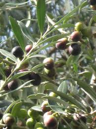 olive trees product categories just fruits and exotics