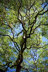 curly willow is fast growing ornamental tree redlands daily facts