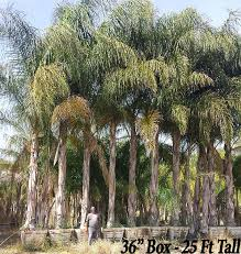 palm trees for sale in southern california from paradise nursery