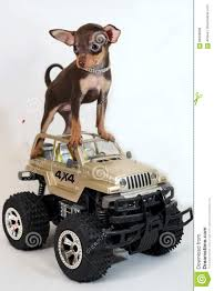 jeep russian ride the jeep russian toy terrier puppy stock photo image