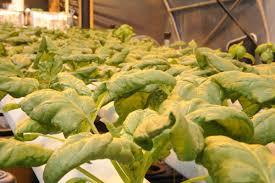 growing hydroponic spinach grozinegrozine