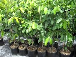 black sapote trees for sale in florida
