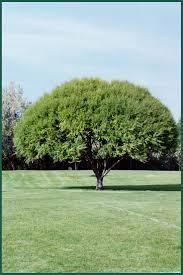 239 best trees i u0027ve planted images on pinterest birches aspen