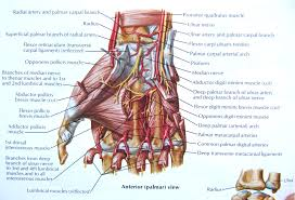 Human Anatomy And Physiology Notes Finger Muscles Anatomy Finger Muscles Anatomy Human Anatomy