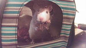 Cheap Rat Cage I Bought A Travel Cage For My 2 Rats Because I U0027m Going To Be