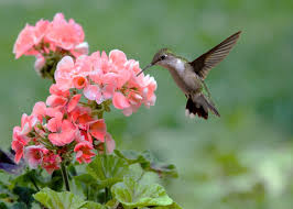 hummingbird flowers pictures of hummingbird flowers mba degree info