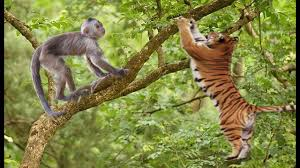 tiger attack monkey on the tree but fail fallen from tree