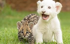 imagenes de leones salvajes gratis tigres y leones cachorros jugando fondos de pantalla gratis