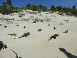Iguana Island | iguana island picture of exuma water tours great exuma tripadvisor