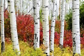 aspen trees paper white trunks near vail colorado