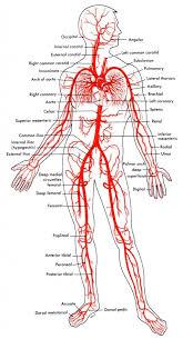 Heart Anatomy Arteries Anatomy Arteries And Veins Human Anatomy Library