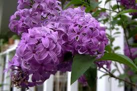 amazon com 25 french old fashioned lilac syringa vulgaris