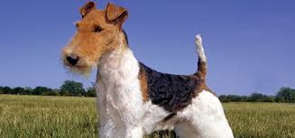 the fox terrier modern dog magazine