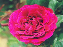 Fragrant Rose Plants - pounsley plants old fashioned hybrid perpetual roses by mail order