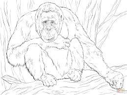 realistic bornean orangutan coloring page free printable