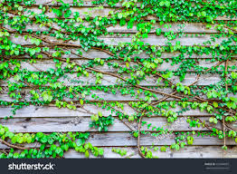 abstract green leaves vine on wooden stock photo 553484869