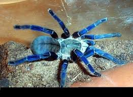 that s a gooty sapphire ornamental tarantula this is a