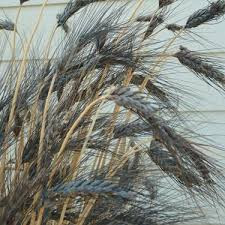 triticum aestivum black wheat ornamental grass seed
