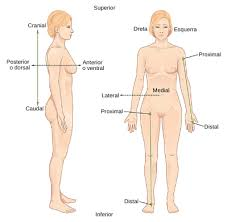 Directional Terms Human Anatomy File Directional Terms Ca Svg Wikimedia Commons