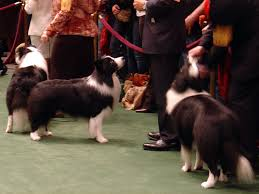 australian shepherd vs border collie dog breeds old vs new working vs show with many pictures page