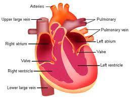 cardiovascular system structure u0026 function schoolworkhelper