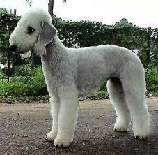 bedlington terrier guide terrier breeds group karma u0027s rottweilers