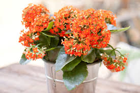 Most Difficult Plants To Grow Growing Kalanchoe Plants Indoors