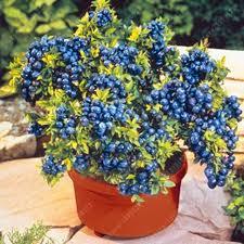 mirtillo in vaso 200 pz borsa mirtillo i semi commestibile organic heirloom frutta