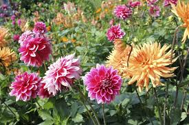 dahlias flowers dahlia growing tips caring for dahlia plants in the garden