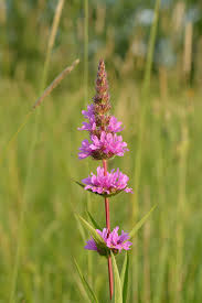 plants native to ireland lythrum salicaria wikipedia