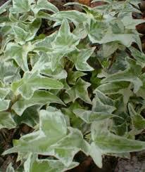 Non Invasive Climbing Plants - paghat u0027s garden hedera helix