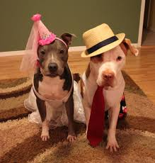 Pitbull Dog Halloween Costumes 12 Tough Dogs Hearts Gold Rover