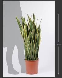 sansevieria laurentii unique indoor plant house of plants