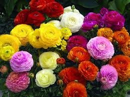 Ranunculus Ranunculus Bulbs And Blooming Annuals Armstrong Garden Centers