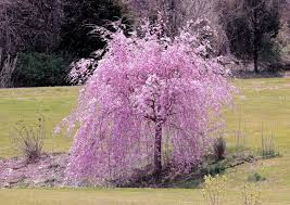 weeping cherry front yard landscaping walkway and