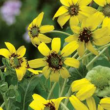 Fragrant Bedding Plants - rare fragrant flowers select seeds
