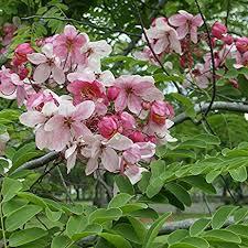 amazon com cassia javanica apple blossom tree seeds es 11
