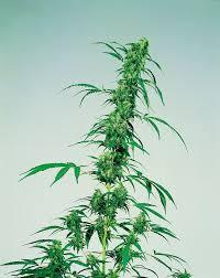 cannabis sativa hash marihuana u0026 hemp museum