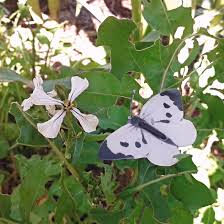 how to save crops from cabbage white butterfly and other pesky