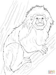 golden lion tamarin monkey coloring page free printable coloring