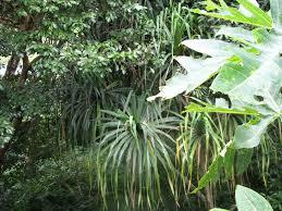 native hawaiian plants for sale hawaiian plants foraging seattle