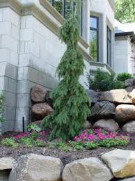 weeping spruce this evergreen makes a great specimen or