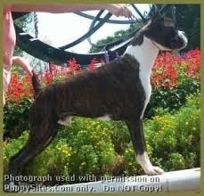 boxer dog mean 1055 best i love boxers images on pinterest boxer love boxers