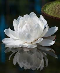 Flower Love Quotes by Victoria Amazonica Wikipedia