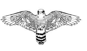 realistic falcon bird coloring pages animal coloring pages 6558