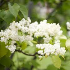 best 25 white flowering trees ideas on white