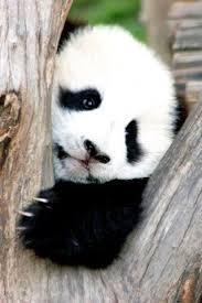 Panda Meme Mascara - luxury 26 panda mascara meme wallpaper site wallpaper site