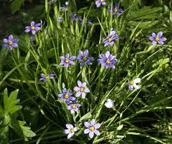 images of purple flowers bloom grass sc