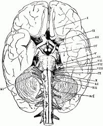 Brain Coloring Page Ppinews Co Brain Coloring Page